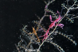 I found two different color sekeleton shrimp at night div... by Steve So 